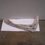 リュウボクザウルスの化石